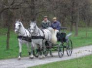 Lipizzaner horses